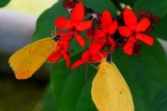 zwei gelbe Schmetterlinge auf einer roten Blüte im Schmetterlingshaus - Maxipark