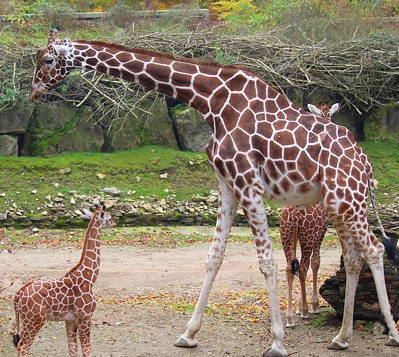 03_Zoo OS Giraffenbulle Edgar A klein